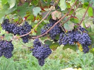 Pinot Noir 2