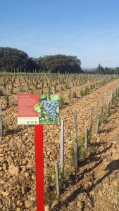 Grenache in Chateauneuf