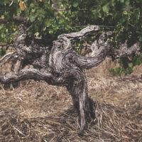 Centenarian Vines Old Vines